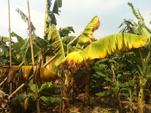 Banana plant with Fusarium wilt symptoms.